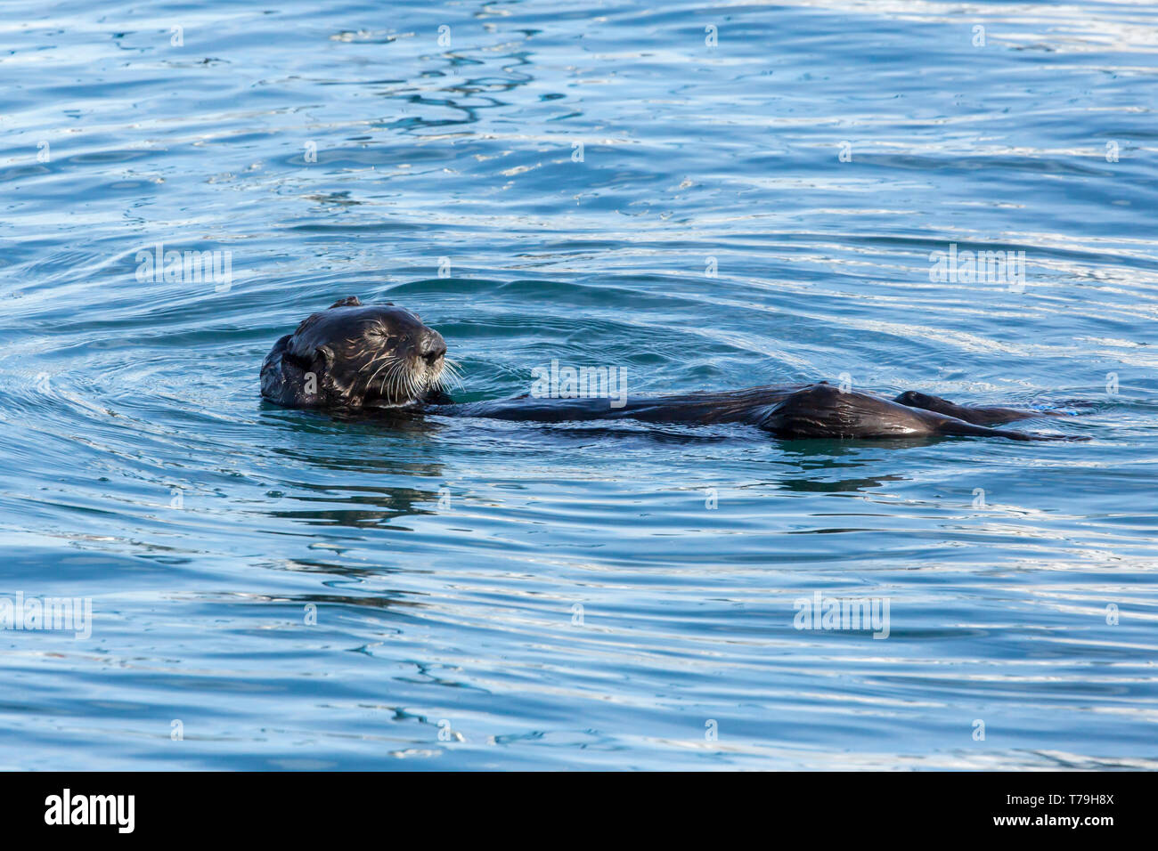 Sea Otter (Enhydra lutris) entangling itself to strings to prevent itself from drifting away, Monterey Bay, California Stock Photo