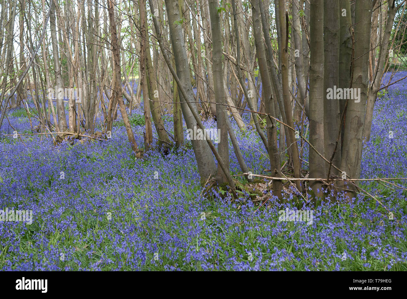 trees Ashdown Forest East Sussex - Stock Image