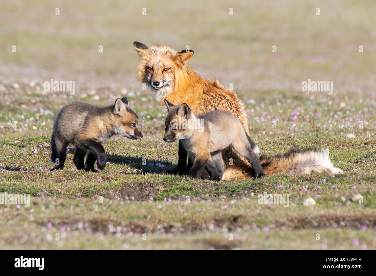 A red fox vixen with her two kits - Stock Image