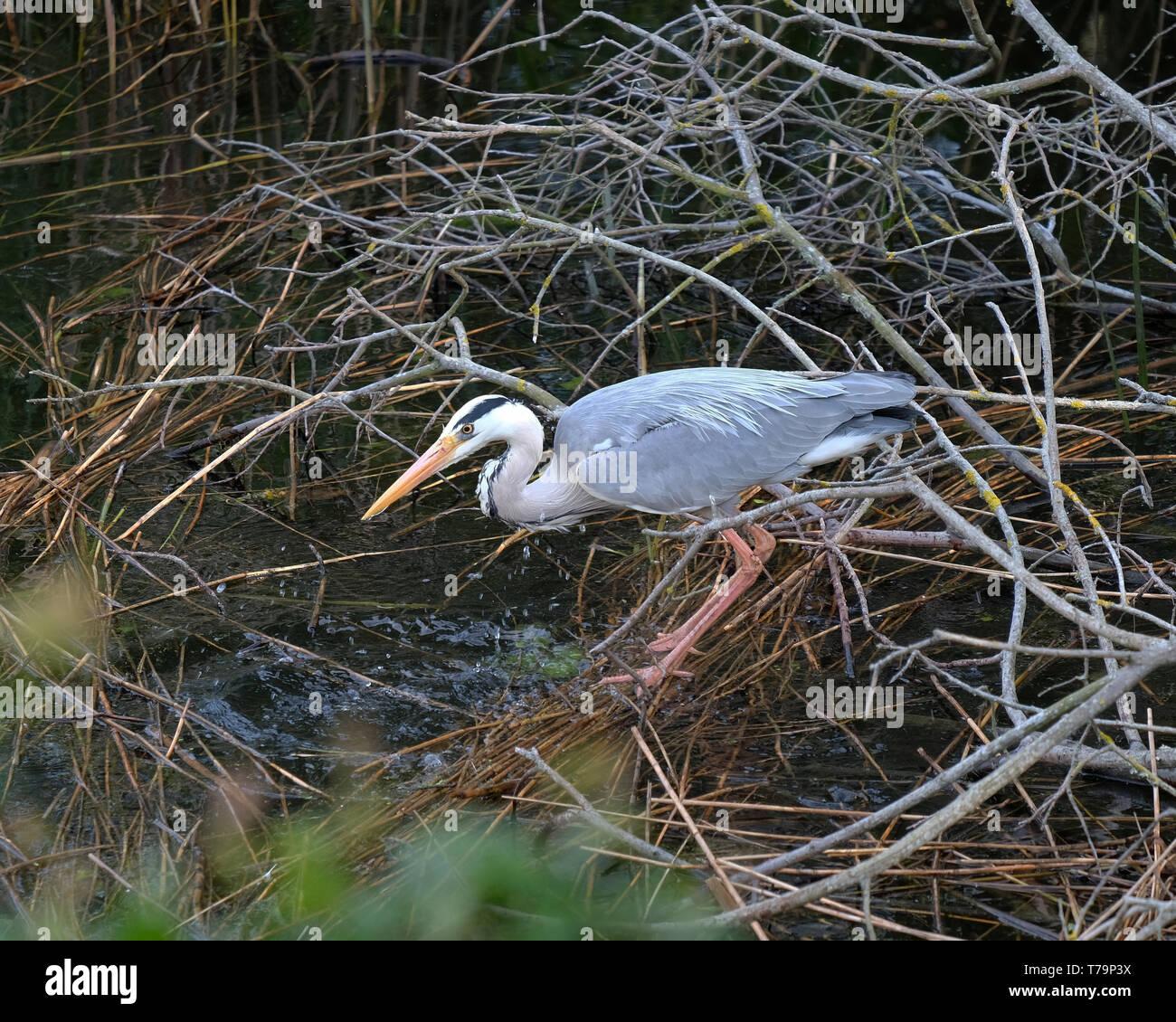 May 2019 - Grey Heron fishing - Stock Image