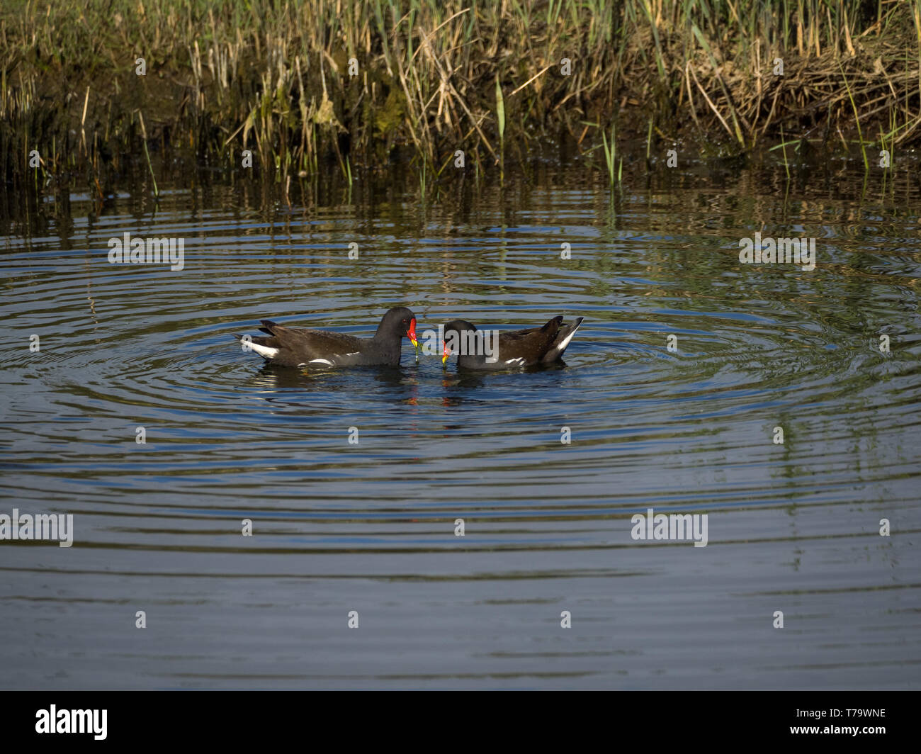 Moorhens tugging over pond weed Stock Photo