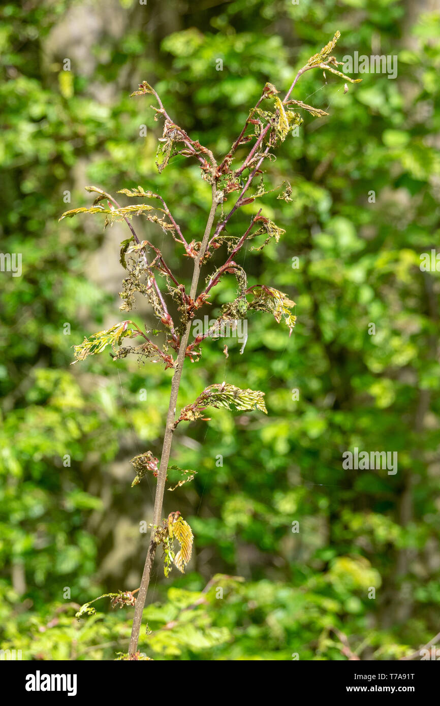 Damage, defoliation and deforestation caused by high numbers of winter moth (Operophtera brumata) caterpillars Stock Photo