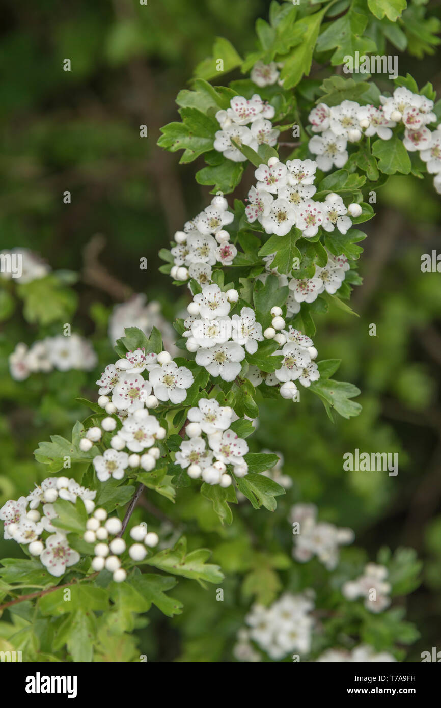 White flower blossom & flower buds Common Hawthorn tree / Crataegus monogyna. ID from flower single stigma. May blossom, hedgerow blossom concept. - Stock Image