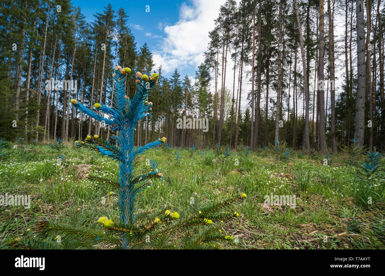 Forest renewal. Young spruce detail. Picea. Blue painted needles. Reforestation. Small coniferous tree. Spring new growth. Green conifers in landscape. - Stock Image