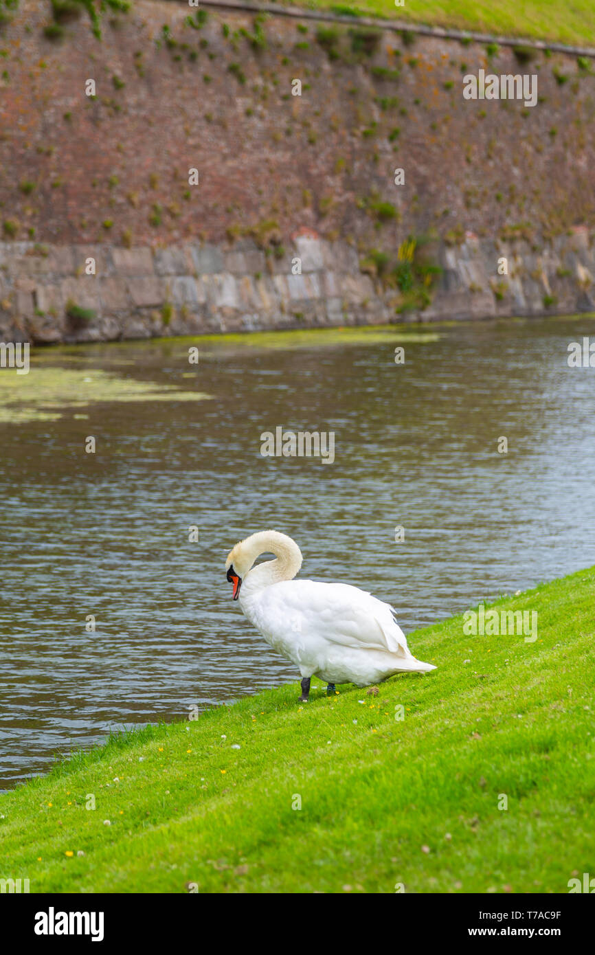 Swan near the protective moat with water around the castle. Swan is resting near the pond. Kronborg castle the Helsingor town, Denmark - Stock Image