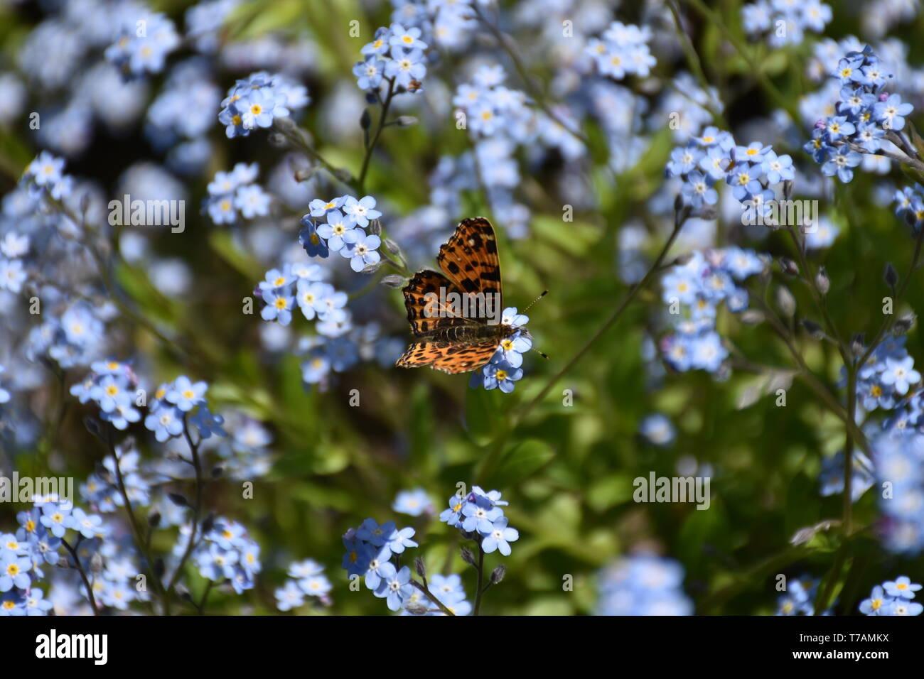 Vanessa cardui, Distelfalter, Edelfalter, Falter, Saugrüssel, Rüssel, Schmetterling, Lepidoptera, Flügel, Muster, Blume, Blüte, Blumen, Blüten, Wiesen - Stock Image