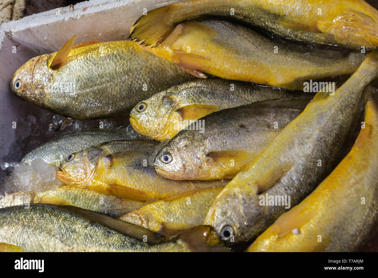 Hong Kong, China - March 7, 2019: Tai O Fishing village. Closeup of catch in Box: yellow belly snapper on sale in store, lying on ice. - Stock Image