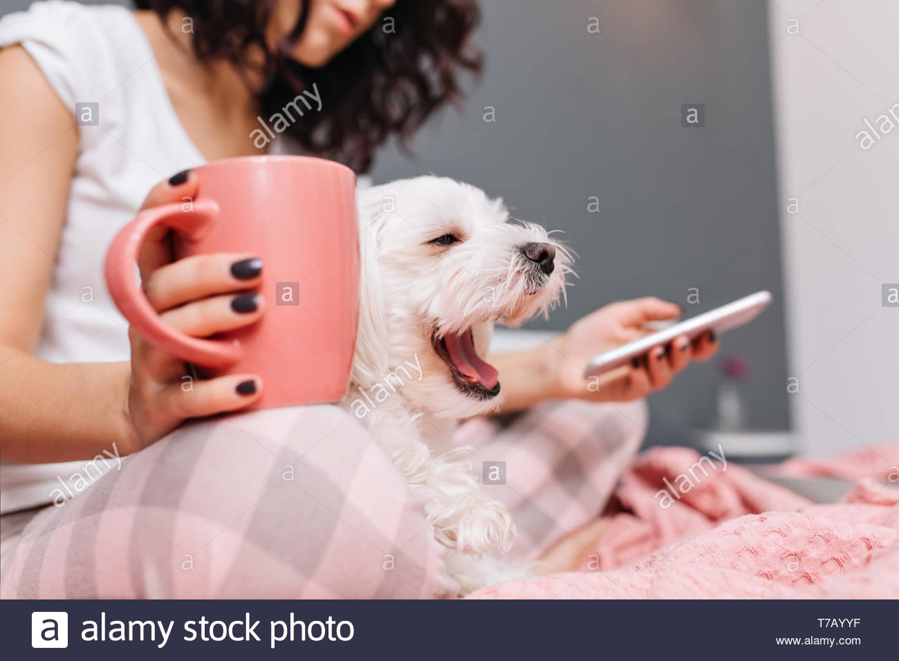 Sweet little white dog yawning on knees young woman in pajama chilling on bed with a cup of tee. Enjoying home comfort with pets, cheerful mood - Stock Image