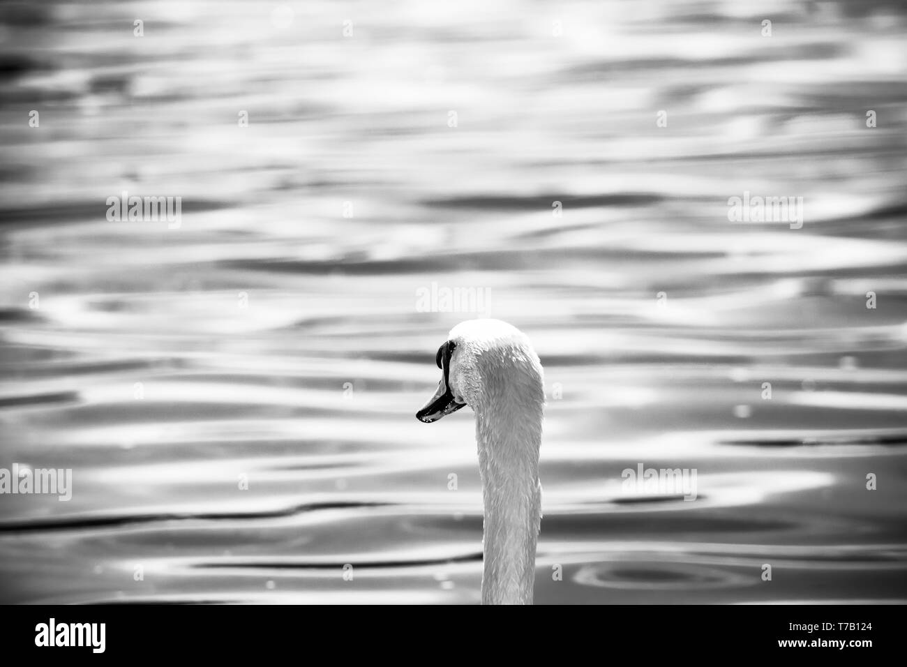 Hendersyde, Kelso, Scottish Borders, UK. 29th April 2019. A Mute Swan (Cygnus olor) keeps cool on the River Tweed during a hot day in the Scottish Bor - Stock Image