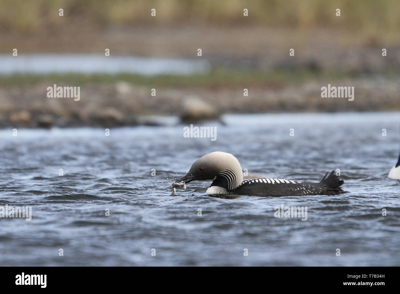 Pacific Loon or Pacific Diver fishing in arctic waters, near Arviat Nunavut, Canada - Stock Image