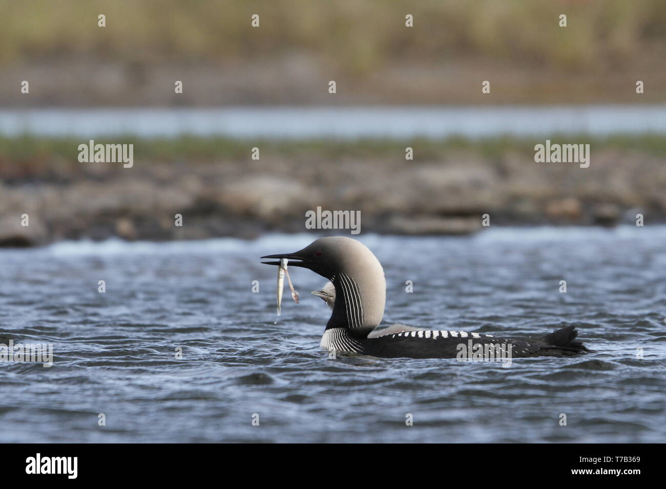 Pacific Loon or Pacific Diver fishing in arctic waters with a fish in its mouth, near Arviat Nunavut, Canada - Stock Image