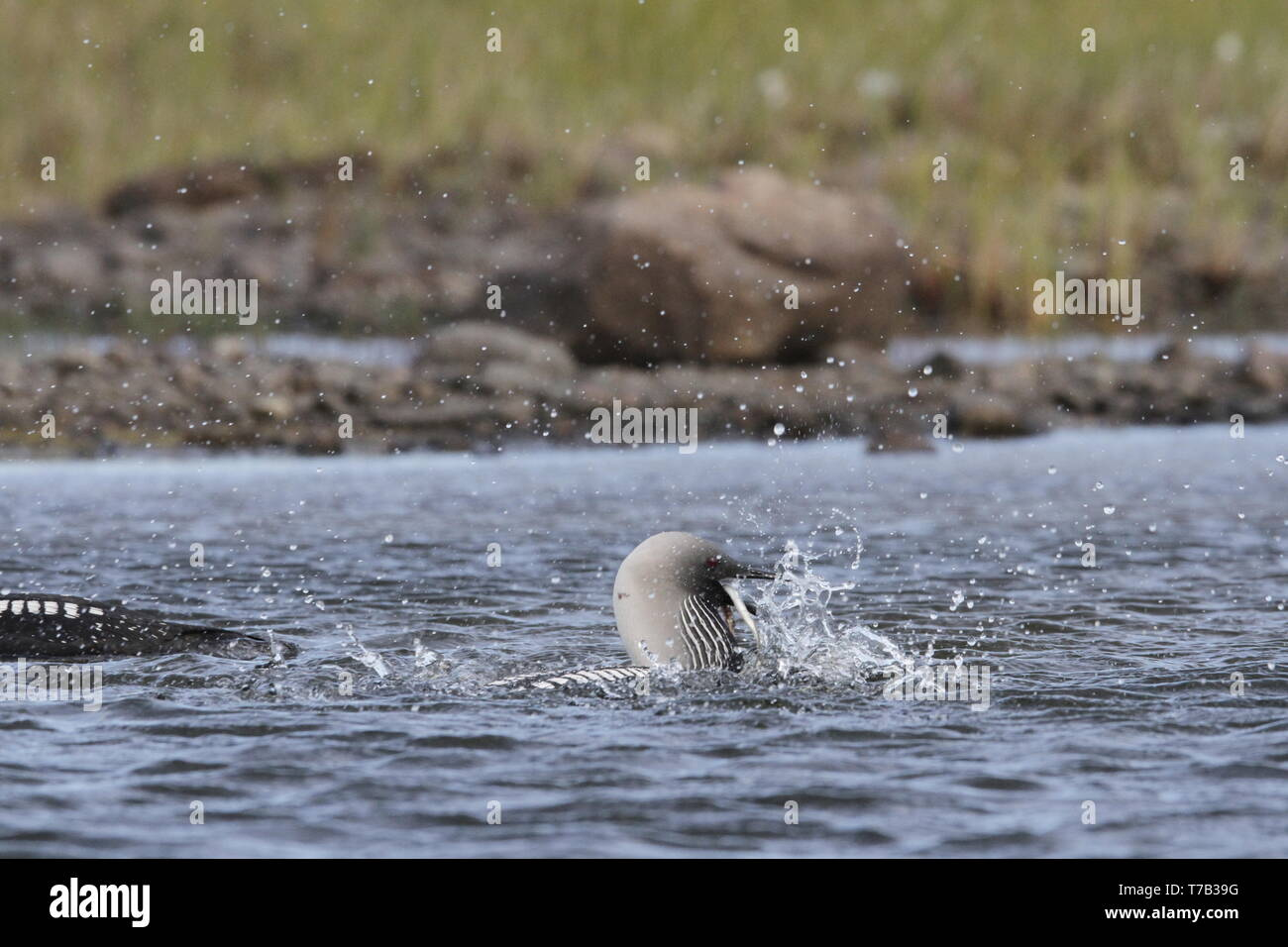 Pacific Loon or Pacific Diver catching a fish while thrashing around in arctic waters, near Arviat Nunavut, Canada - Stock Image