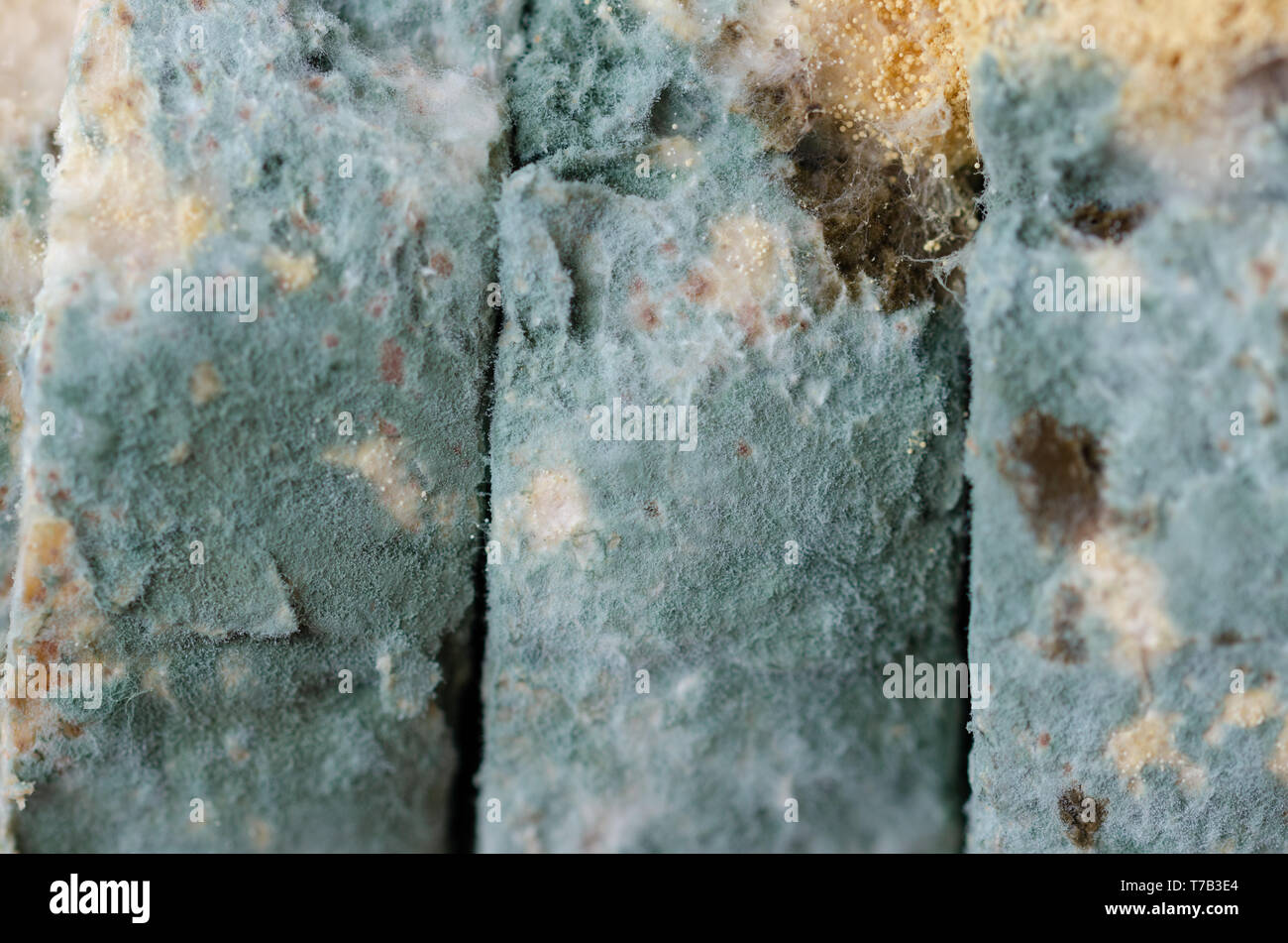 Moldy bread slices close up. .Moldy inedible food. - Stock Image