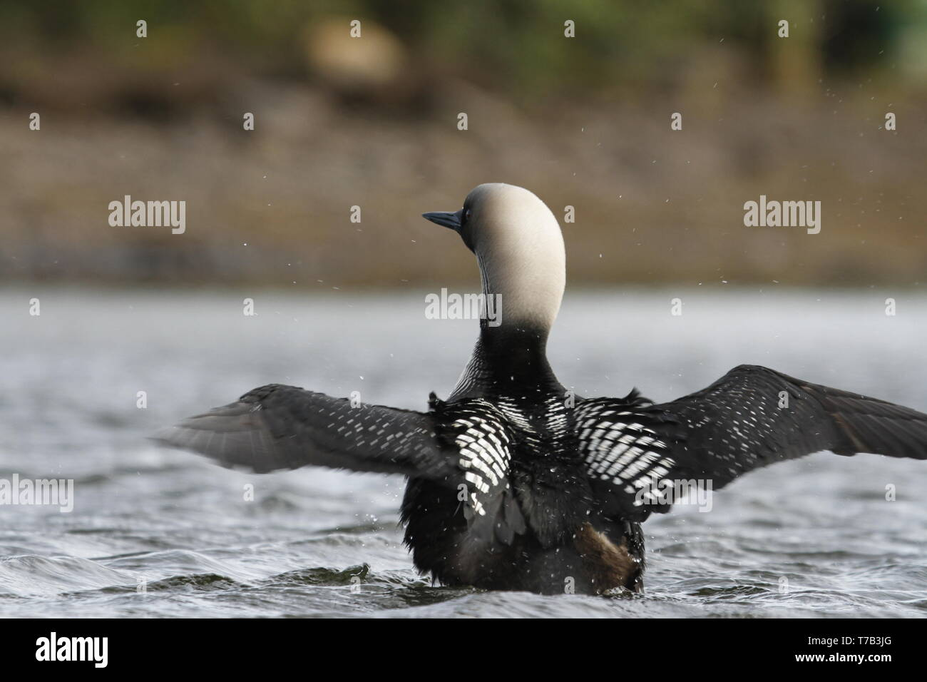 Adult Pacific Loon or Pacific Diver (Gavia pacifica), breeding plumage, with outstretched wings on water, near Arviat Nunavut, Canada - Stock Image