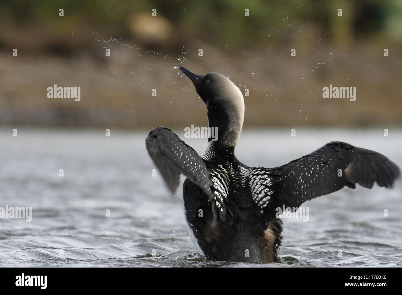 Adult Pacific Loon or Pacific Diver (Gavia pacifica), breeding plumage, flapping wings on water, near Arviat Nunavut, Canada - Stock Image