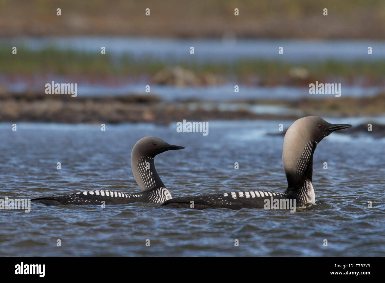 Male and female Pacific Loon or Pacific Diver (Gavia pacifica) in breeding plumage swimming in arctic waters, near Arviat Nunavut, Canada - Stock Image