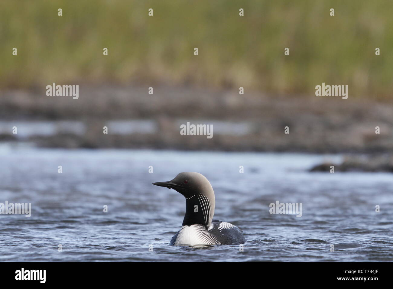 Lone adult Pacific Loon or Pacific Diver (Gavia pacifica) in breeding plumage swimming in arctic waters, near Arviat Nunavut, Canada - Stock Image
