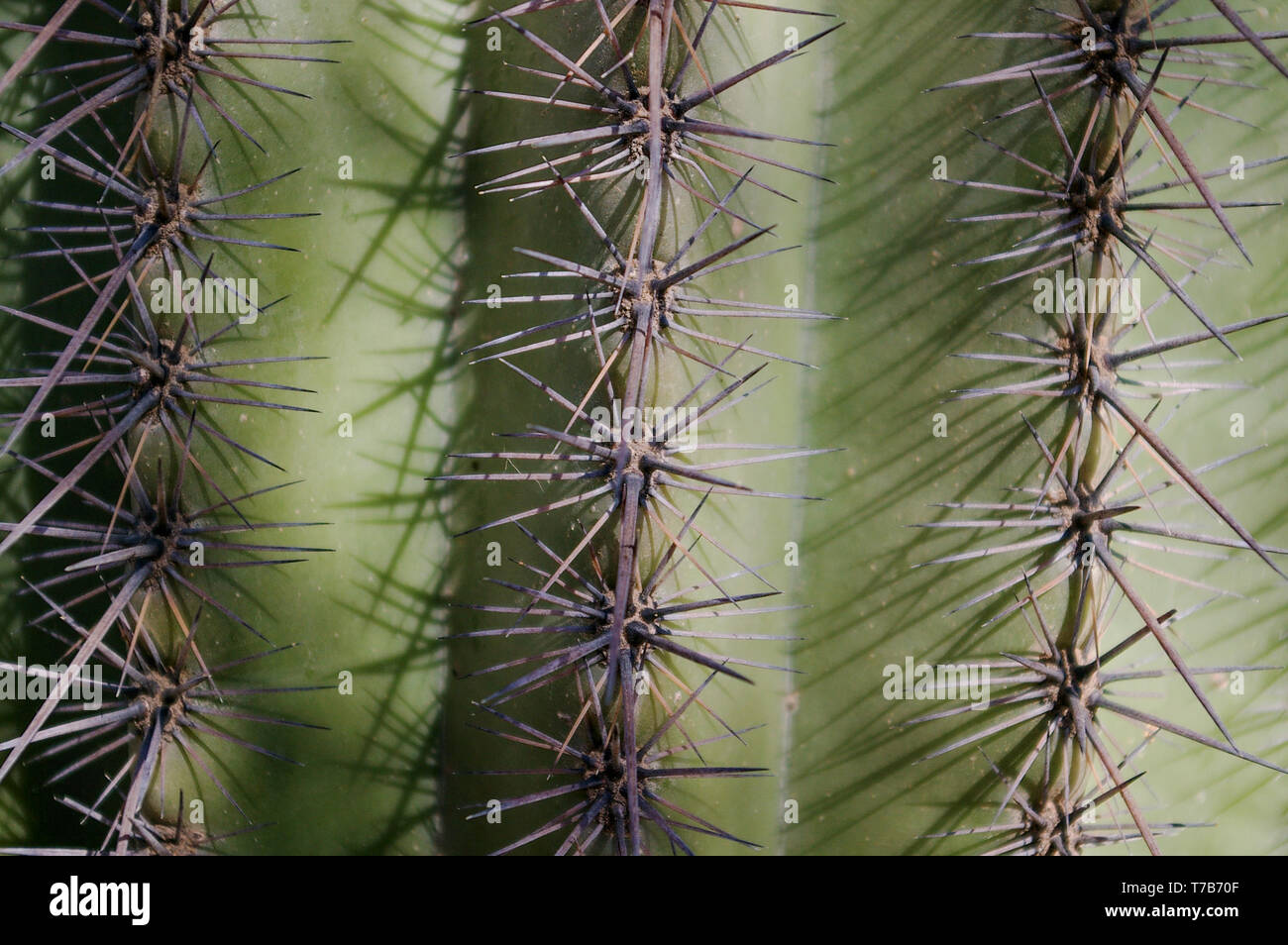 Saguaro Close Up - Stock Image