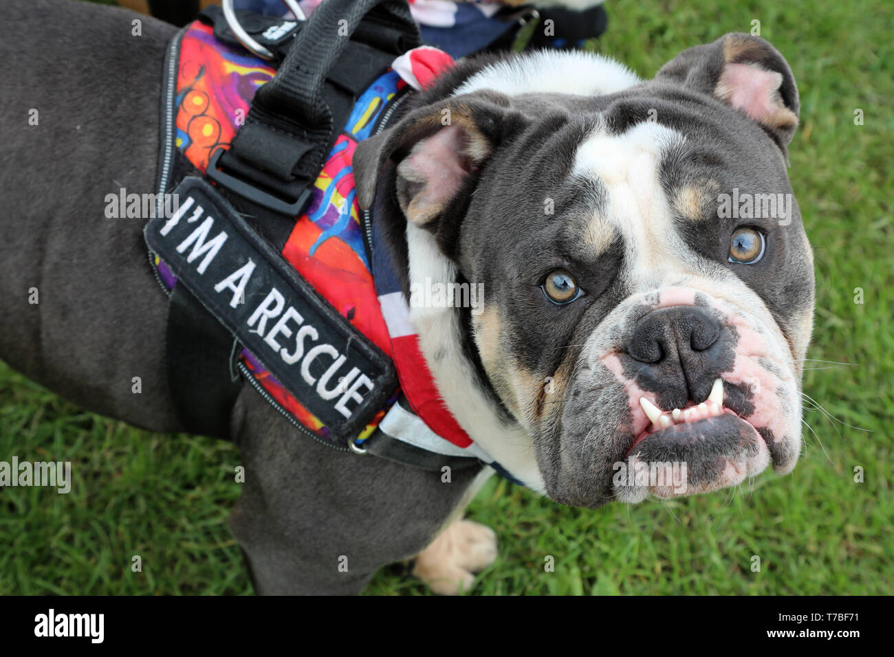 London, UK  5th May 2019  Herbert the English Bulldog in the