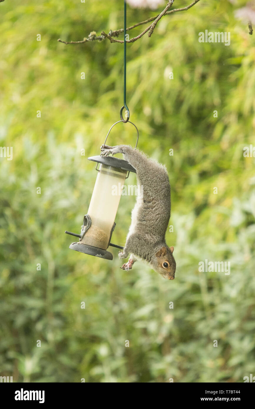 Stirlingshire, Scotland, UK. 6th May, 2019. UK weather - on a showery day in Stirlingshire this grey squirrel may have lost her bushy tail which would help with balance, but she is still able to hang comfortably from this bird feeder because of her claws and swiveling ankle joints that allow her feet to point in the opposite direction to her body! It is this ability to rotate their feet around that enable squirrels to climb down trees head-first Credit: Kay Roxby/Alamy Live News - Stock Image