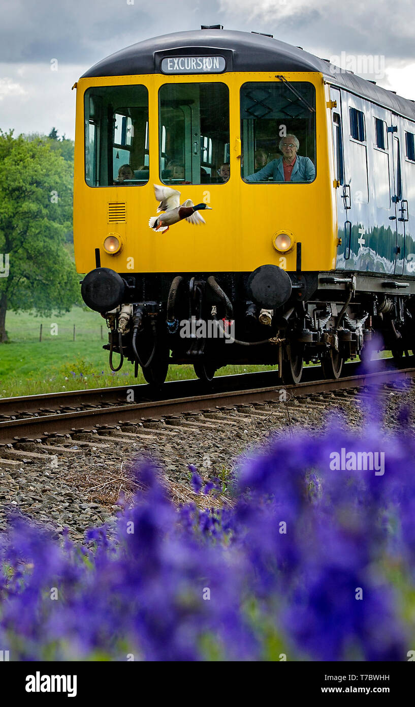 Bury, Lancashire, UK. 6th May, 2019. Overcast and cold weather on this Bank Holiday Monday for visitors to the East Lancashire Railway in Bury, Lancashire. The volunteer run railway ran a full service of both steam and diesel trains past a carpet of Bluebells at Burrs Country Park, Bury. A Mallard duck has a lucky escape as it flies in front of one of the trains. Picture by Credit: Paul Heyes/Alamy Live News - Stock Image