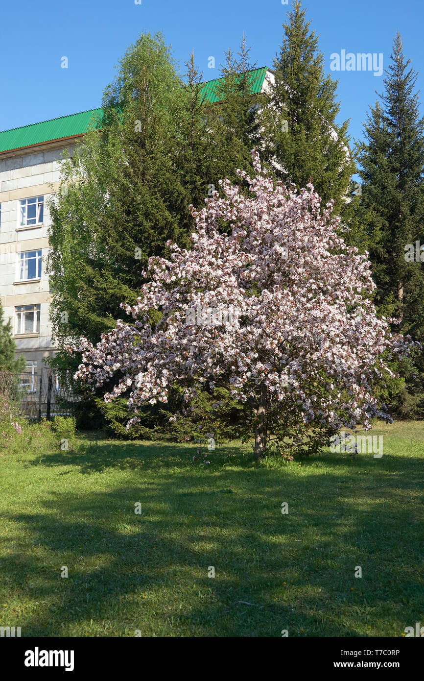 Shot of blooming apple tree crown with pink flowers.  Institute of Cytology and Genetics building on the background Stock Photo