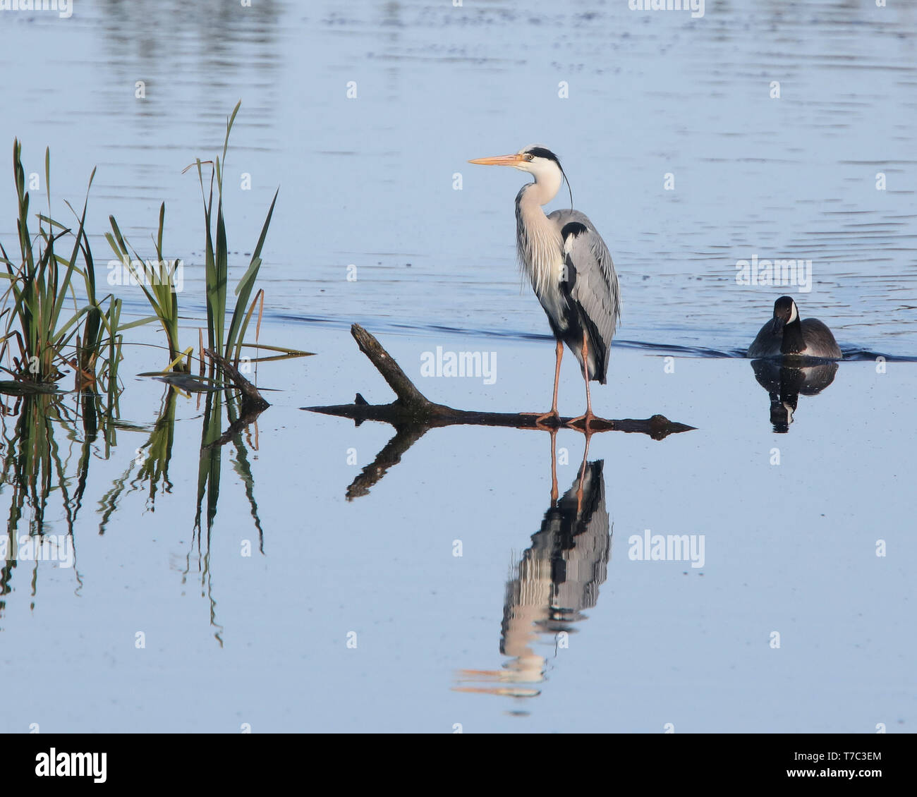 May 2019 - Reflections of a Grey Heron in rural Somerset, UK - Stock Image