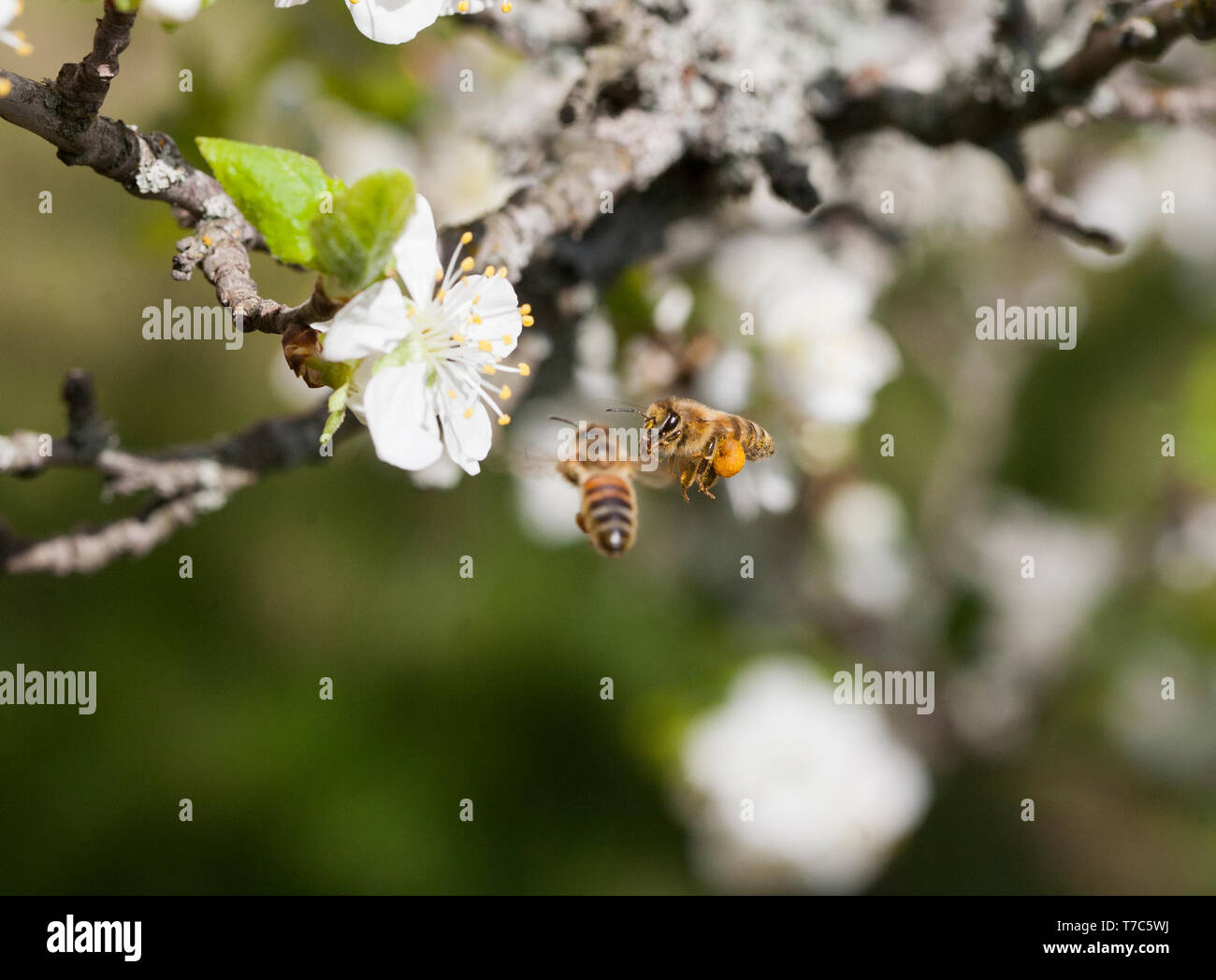 BEE Apoidea looking for nectar and pollen at a blooming plum tree - Stock Image