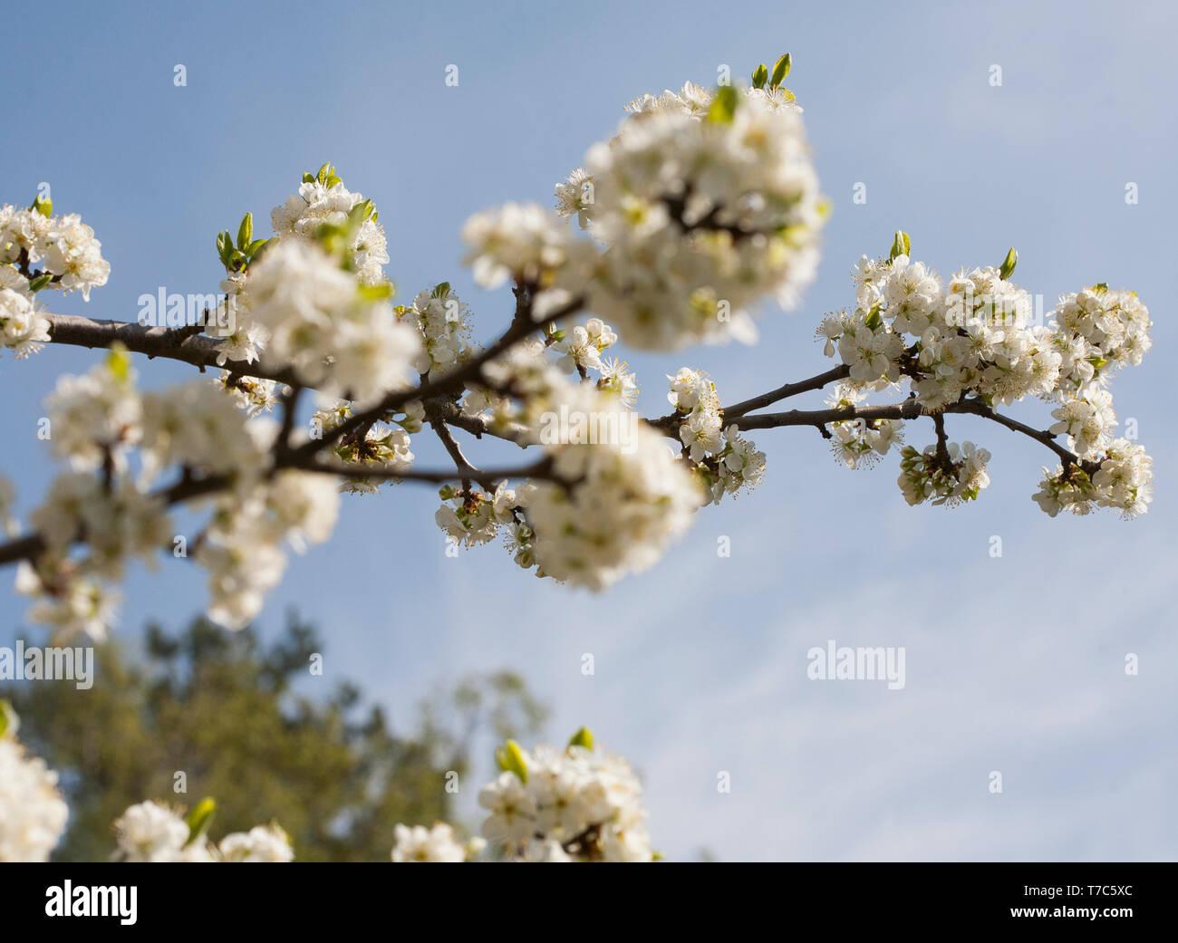 PLUMTREE flowering at spring ,Prunus domestica - Stock Image