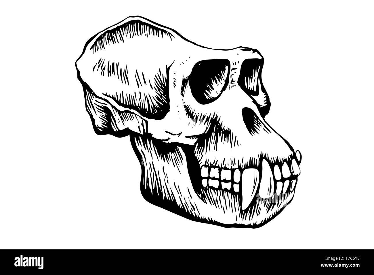 Gorilla monkey skull, hand-drawn sketch isolated on white background. illustration Stock Photo