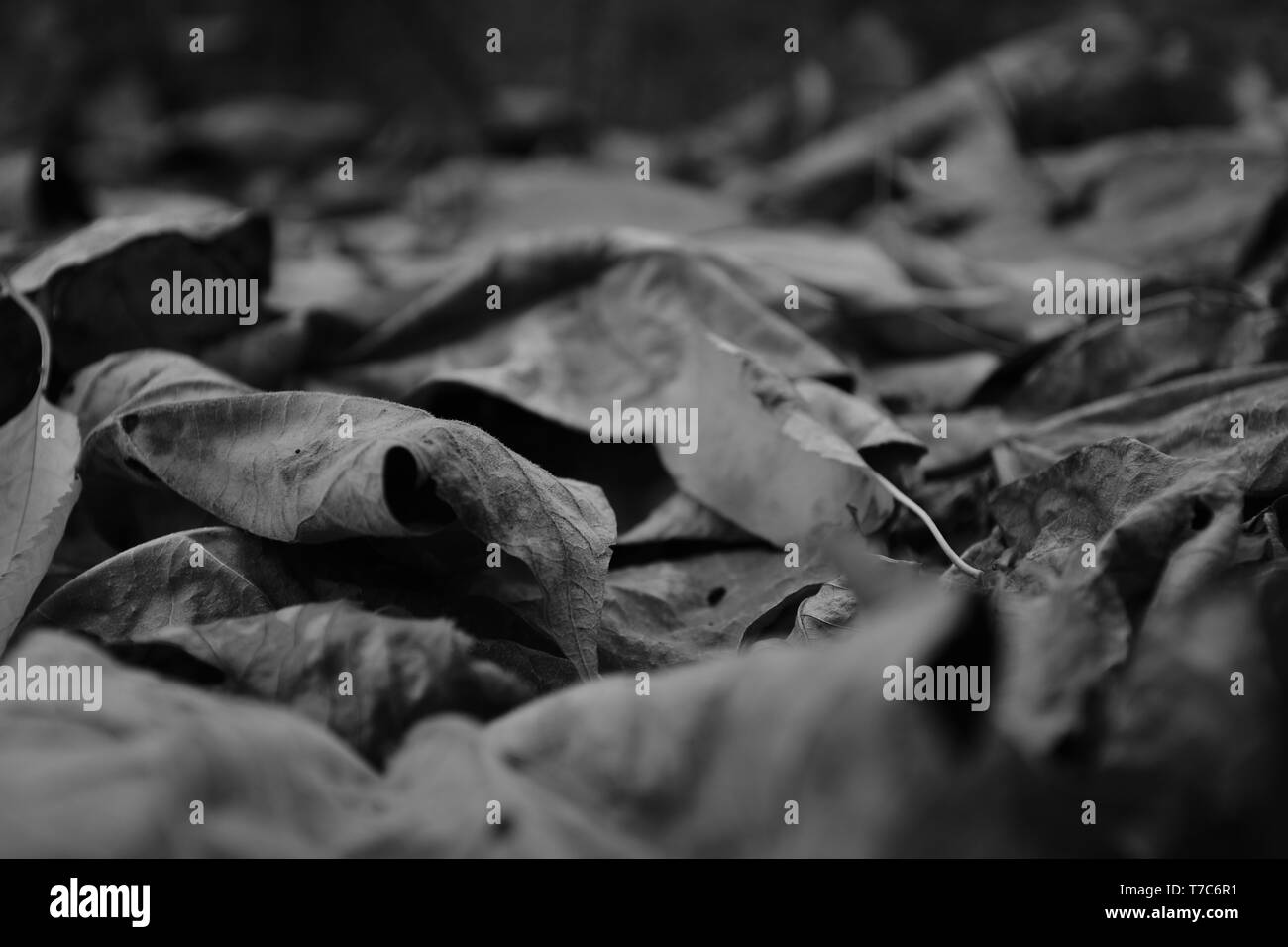 Fallen leaves. Monochrome . - Stock Image