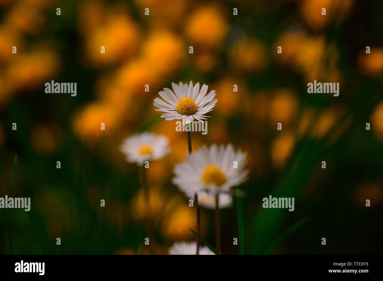 Close up shot daisy flower. Blurred background. - Stock Image
