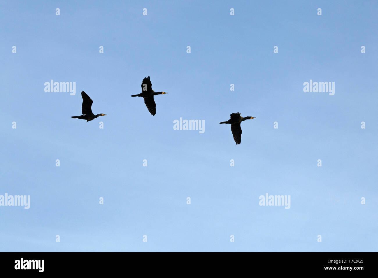 cormorants in flight, (Phalacrocorax carbo), harbour, Hamburg, Germany - Stock Image