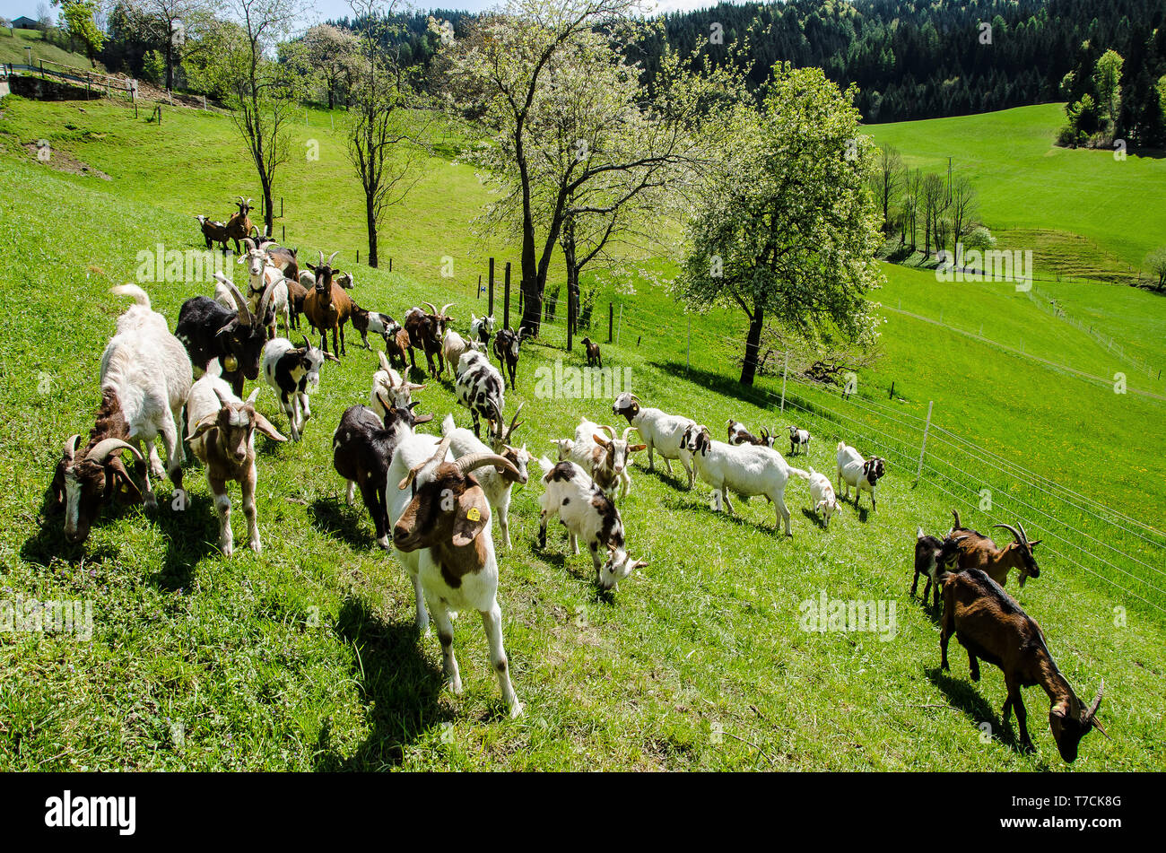 Derived From The Austrian Landrace And Pinzgauer Goat Breeds Stock