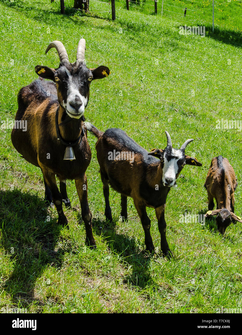 Dairy Goat Breed Stock Photos & Dairy Goat Breed Stock