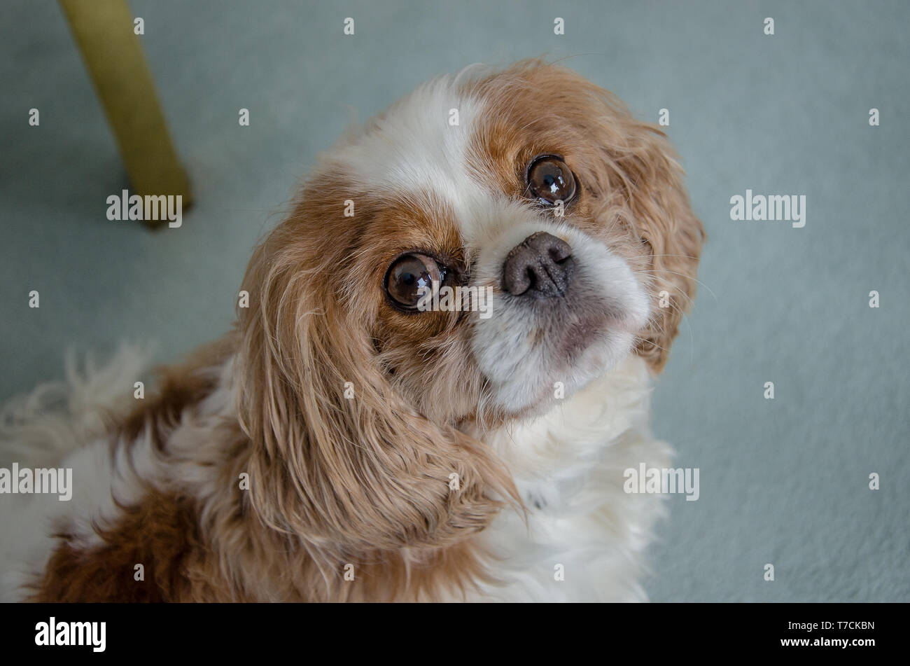 Cavalier King Charles Spaniel dog breed retains the sporty nature of his spaniel ancestors. Stock Photo