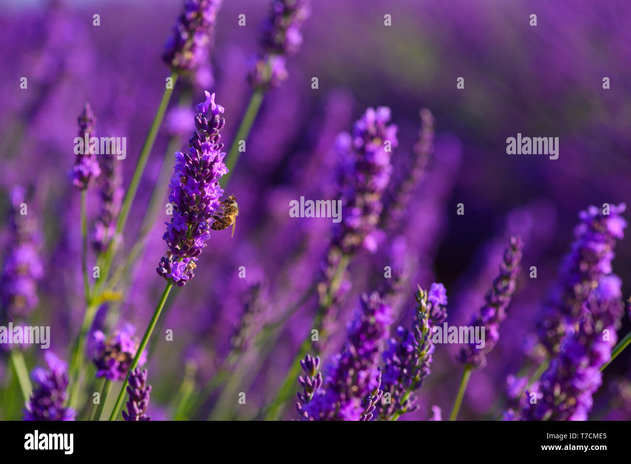 Bee in blossoming lavender flowers feeding on nectar and pollen. Honeybee pollinating lavender bushes on field honey Provence France. - Stock Image
