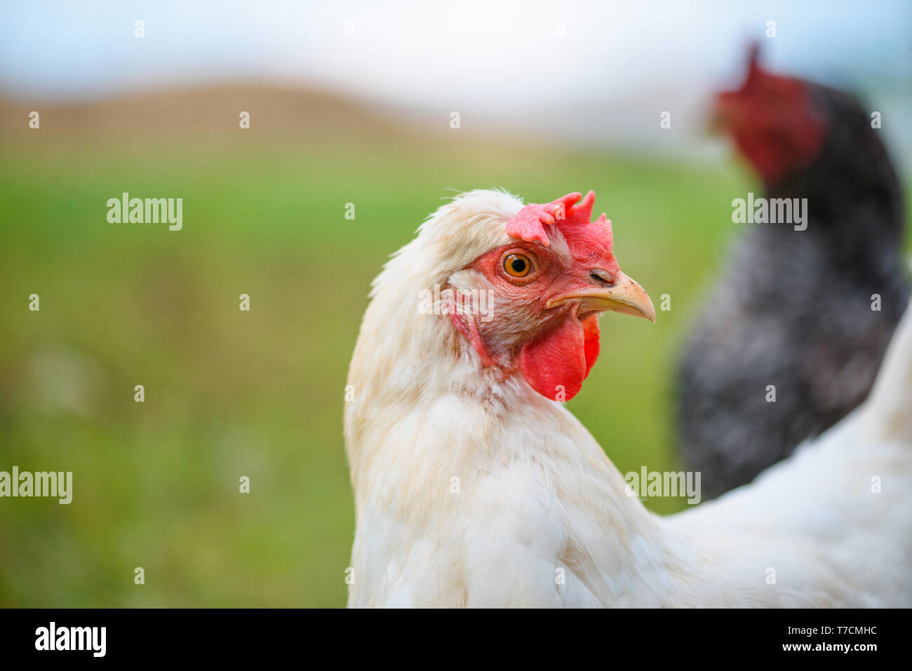 Egg-laying grass fed hen chicken on the meadow closeup portrait looking to camera Stock Photo