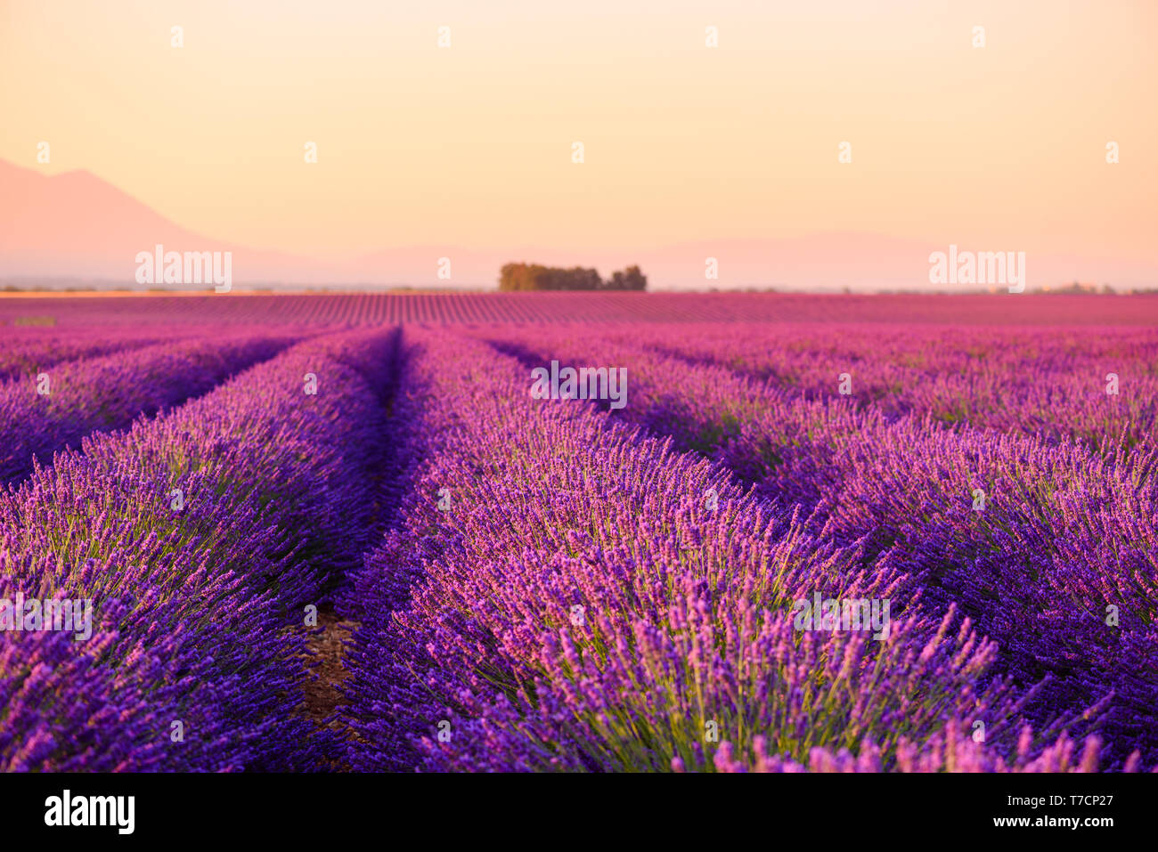 Lavender field Provence France selective focus Stock Photo