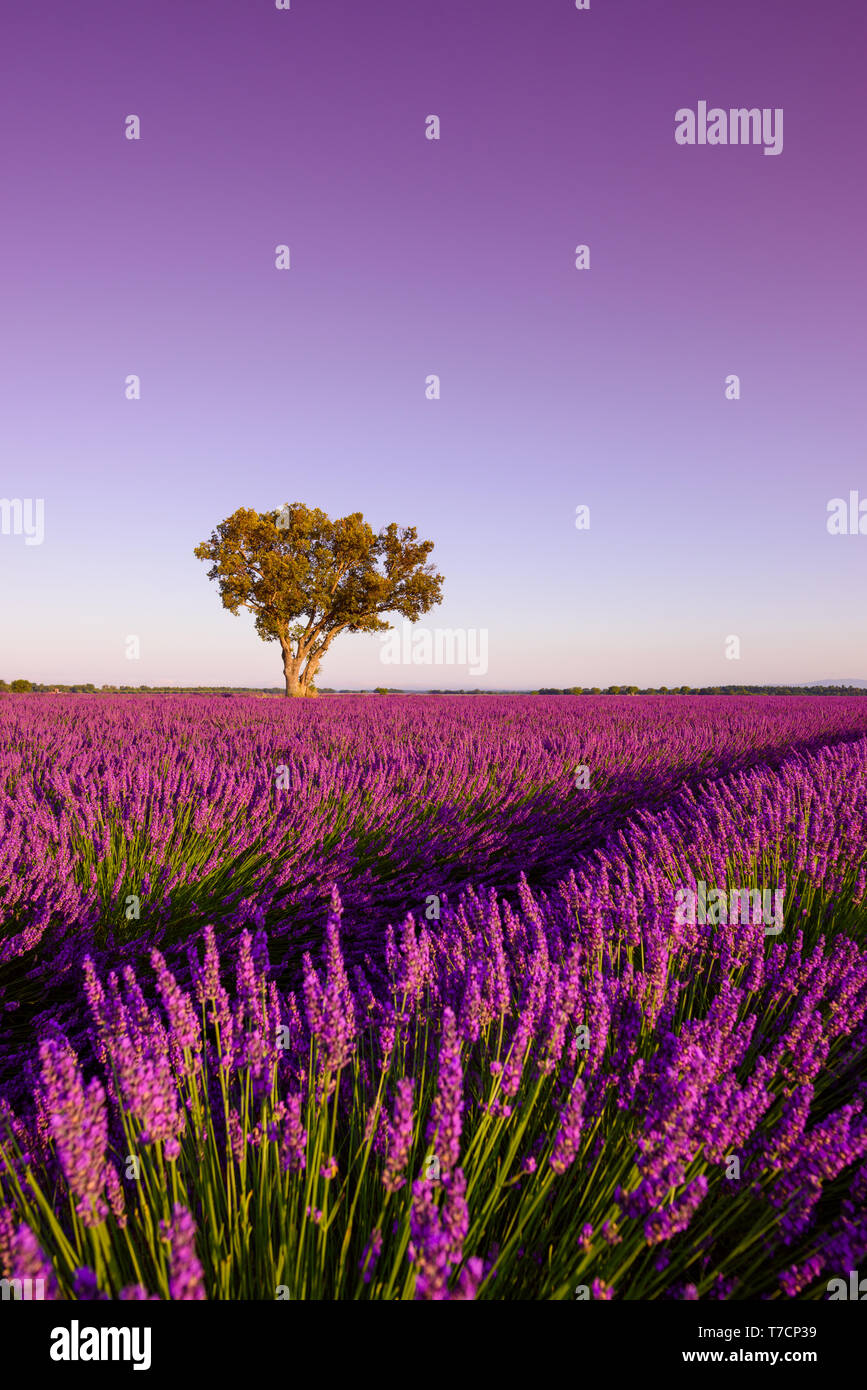 Lavender field with lonely oak tree at sunsise Stock Photo