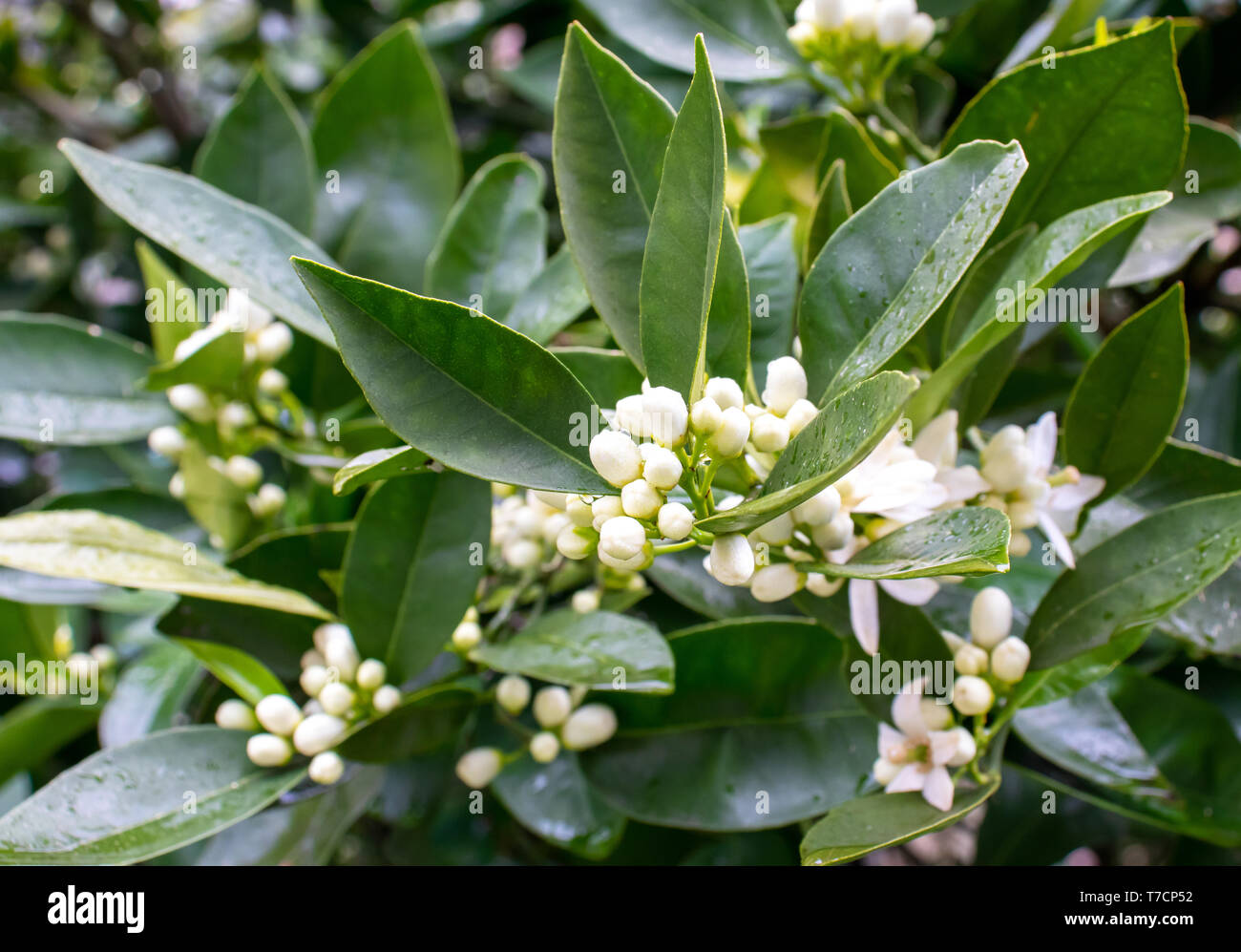 Orange tree white fragrant flowers and buds and dark green foliage after spring rain. Neroli blossom. Azahar parfum flowering. - Stock Image