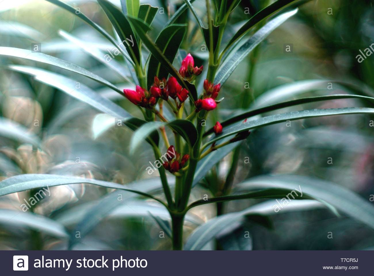 A red flower was begin going to blooming after rained. - Stock Image