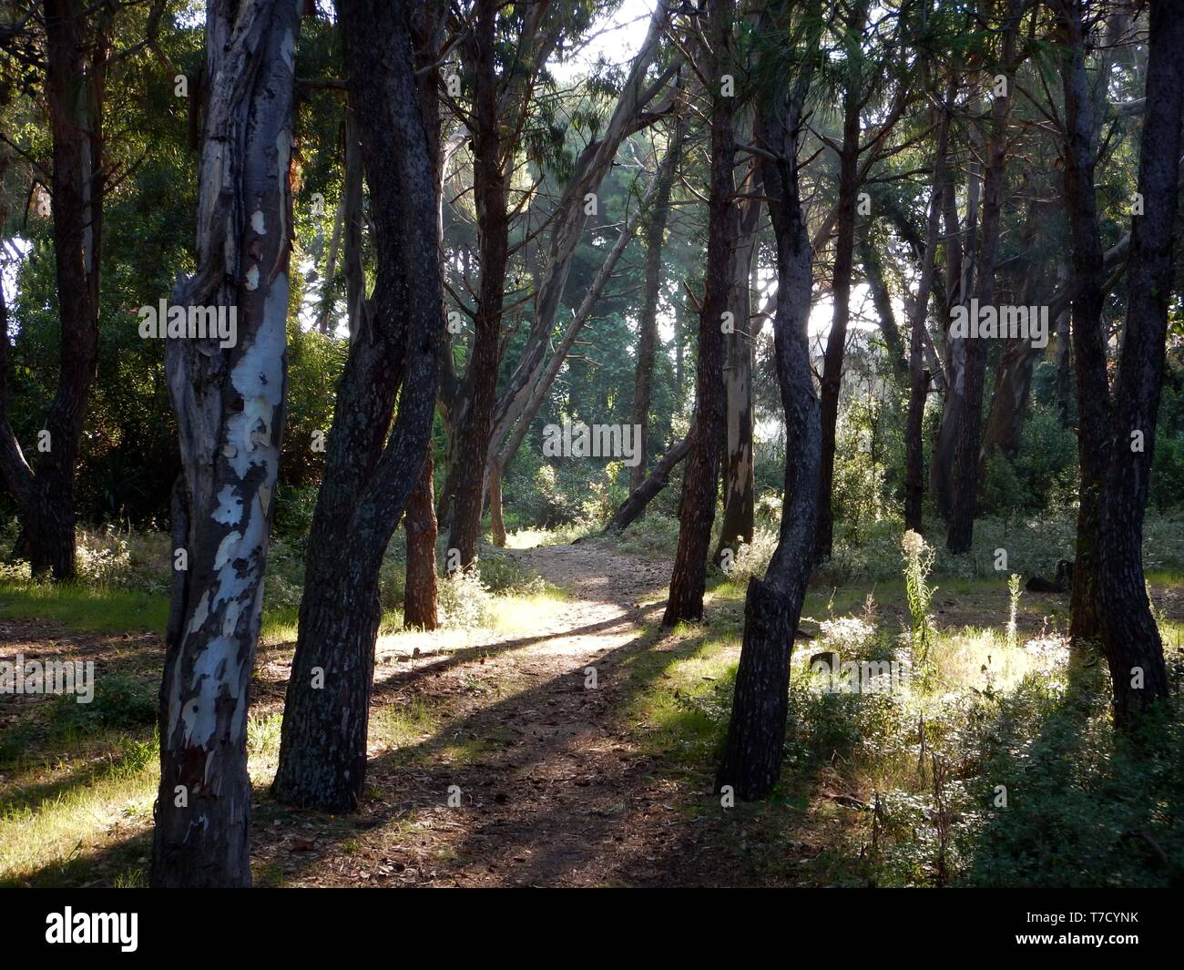 along the path in the marine pine forest - Stock Image
