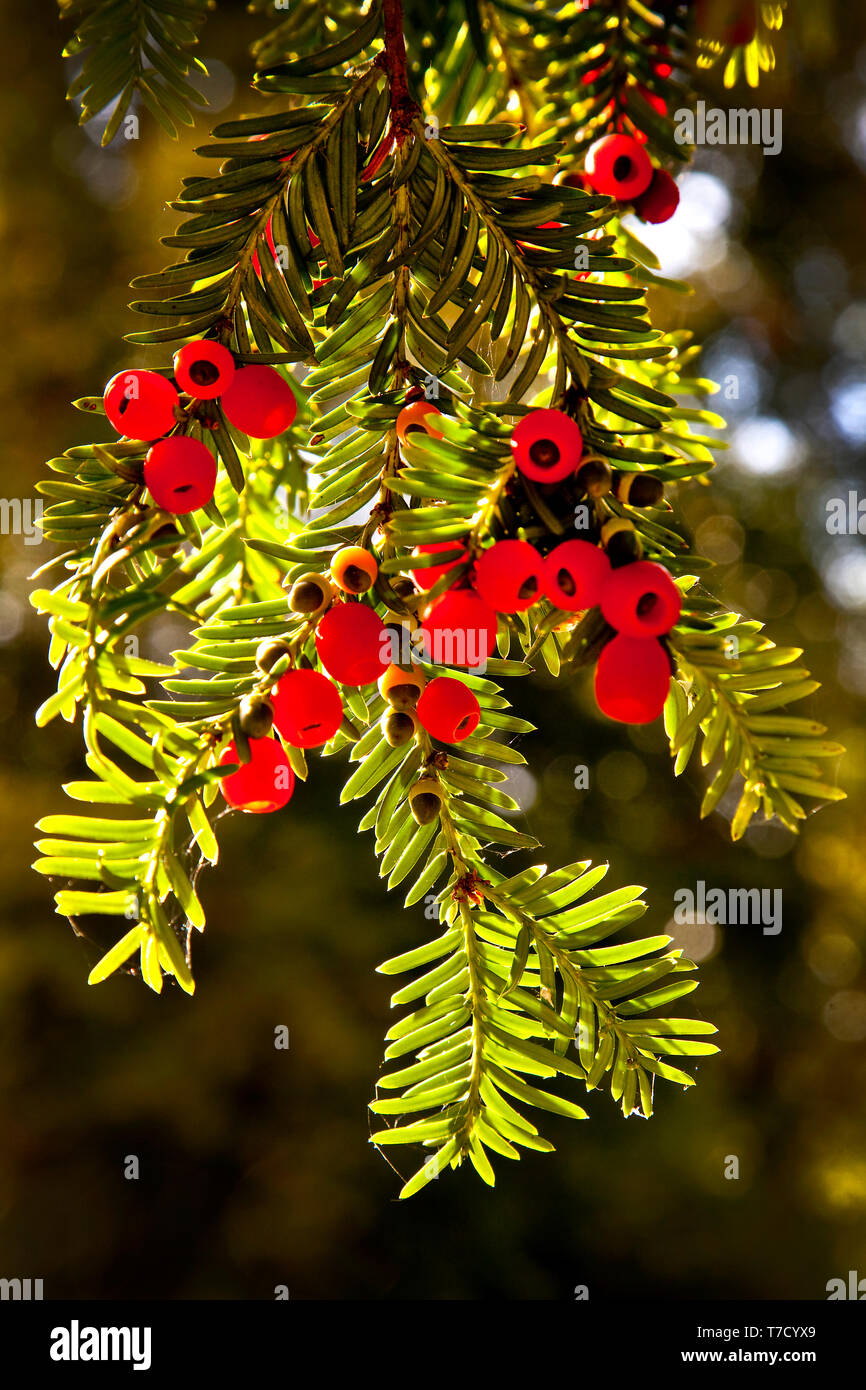 Poisenous Yew berries hanging from a Yew tree. - Stock Image