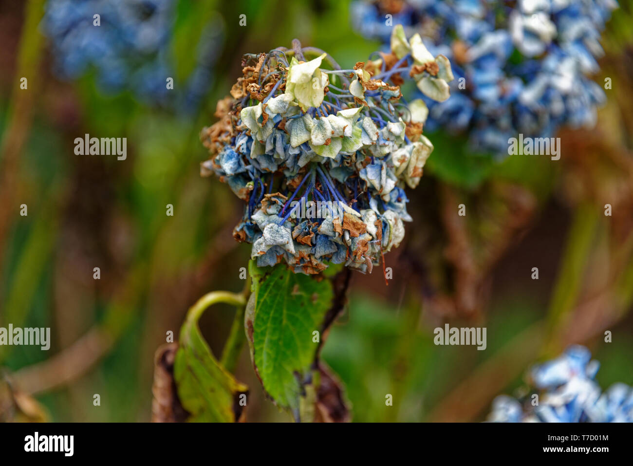 A Hydrangea Flower Showing The Signs Of Drought Turning Brown And Drooping Stock Photo Alamy