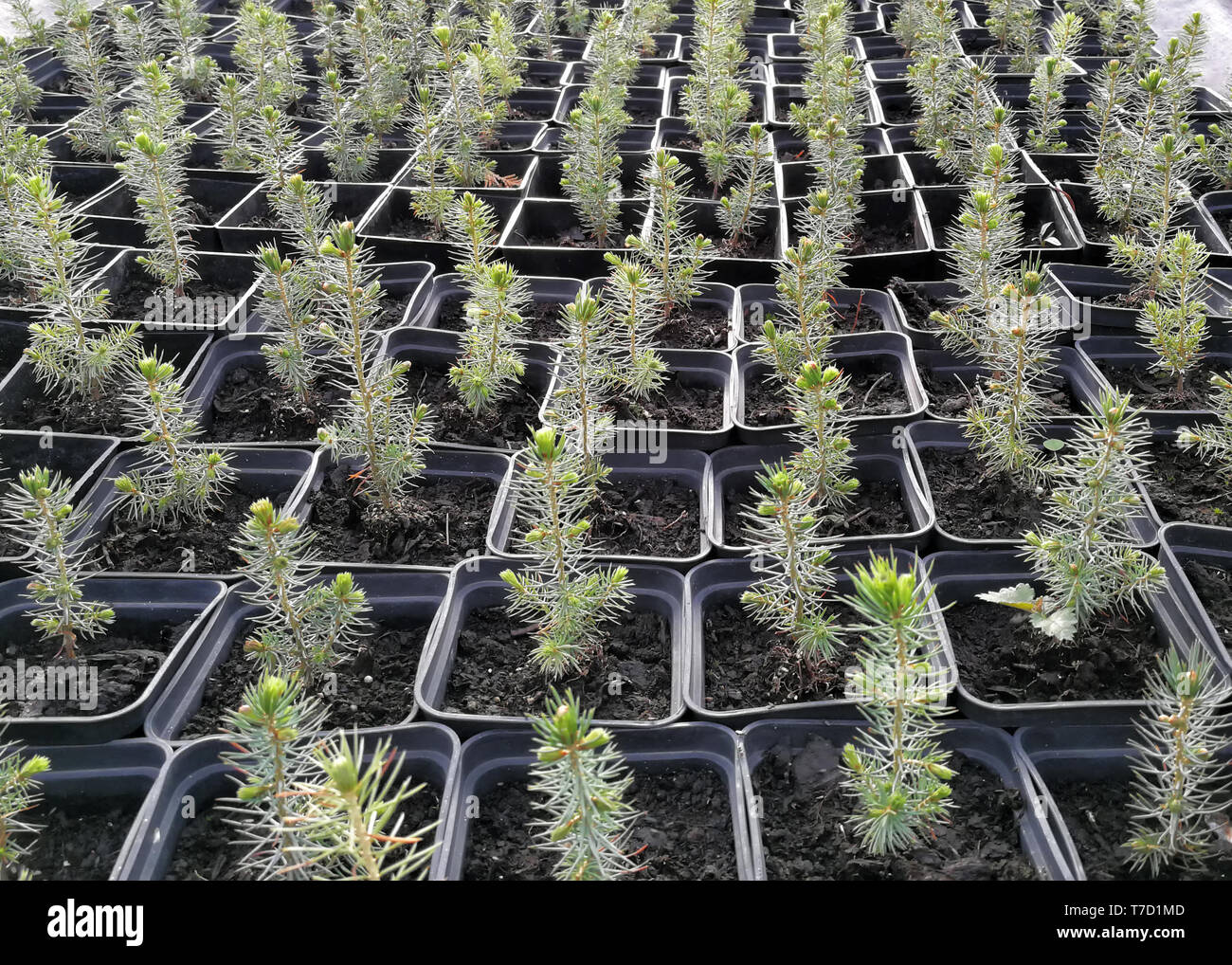 Pine, Christmas trees, junipers in pots and bonsai garden plants in a plant nursery - Stock Image