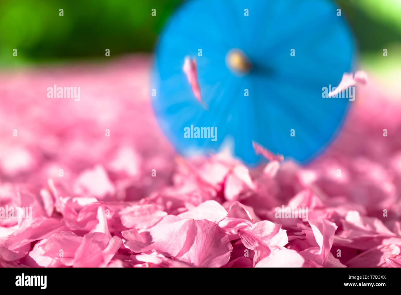 Heap of cherry blossoms and falling petals at asian park background with blue parasol (copy space) - Stock Image