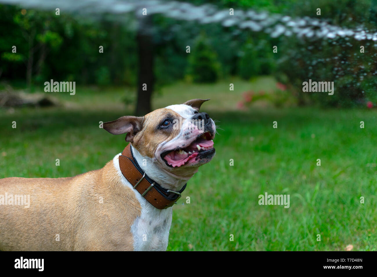 Amstaff is playing with water from a garden hose. Dog mops and merry jumps on the green spring lawn. - Stock Image