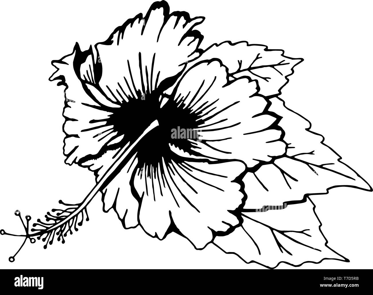 Flower Hibiscus Plant Black And White Stock Photos Images Alamy