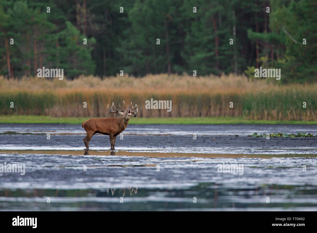 Solitary red deer (Cervus elaphus) stag standing in shallow water of lake / stream / river while bellowing / roaring during the rut in autumn / fall - Stock Image